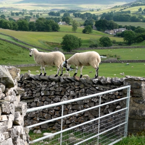 A new wall built to keep sheep off the Pennine Way path, Ribblesdale